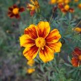 En röd och orange blomma för fransk ringblomma Royaltyfria Foton