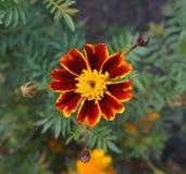 En röd och orange blomma för fransk ringblomma Arkivbild