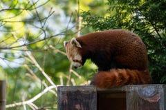 En röd panda flyttar sig till en ny fördelpunkt för att se till att det är säkert att vila når den har ätit royaltyfri fotografi