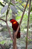 En röd papegoja Royaltyfri Foto