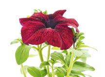 En röd petunia royaltyfria bilder