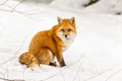 En röd räv i en vinterplats Arkivbilder