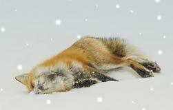 En röd räv i snö Fotografering för Bildbyråer