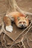 En röd räv på Japan royaltyfri foto