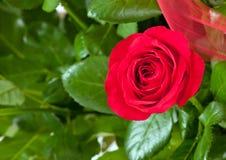 En röd ros Arkivfoto
