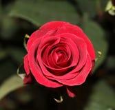 En röd ros Royaltyfri Fotografi
