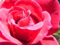 En röd ros i solsken Royaltyfria Bilder