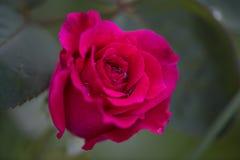 En röd rosblomma med droppar av dagg på en solig dag för sommar in Royaltyfri Bild