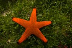 En röd sjöstjärnaFromia milleperella Arkivbild