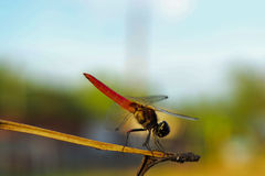 En röd slända Arkivfoto