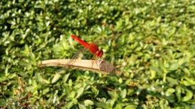 En röd slända Royaltyfri Fotografi