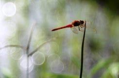 En röd slända på en grässittpinne arkivfoto