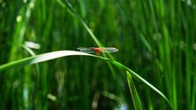 En röd slända står på ett gräsblad Royaltyfri Foto