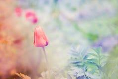En röd tiulip i våren, suddig bakgrund Royaltyfri Fotografi