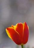 En röd tulpan Royaltyfria Foton