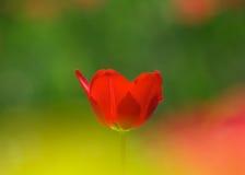En röd tulpan Arkivbilder