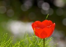 En röd tulpan Arkivbild