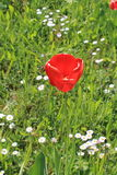 En röd tulpan Royaltyfria Bilder