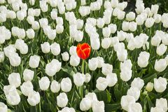 En röd tulpan i det vita fältet Fotografering för Bildbyråer