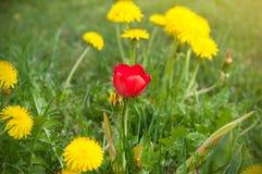 En röd tulpan mellan ett fält av gula maskrosor i vår royaltyfria foton