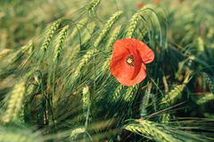 En röd vallmo i ett vetefält Makrofoto av en röd blomma Royaltyfri Bild