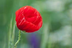 En röd vallmoblomma för vår Arkivfoton