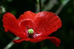 En röd vallmoblomning Arkivbild