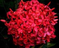 En röd vanlig hortensiablomma med många små blommor sitter sidan - vid - sidan arkivfoto