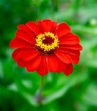 En röd zinnia i trädgården arkivbild