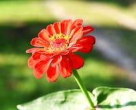 En röd zinnia med en suddig bakgrund arkivfoton