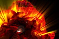En röda Ray Carnatioin Arkivfoto