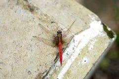 En rödaktig slända på vägghörn royaltyfri foto