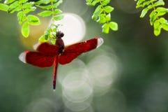 En rödbrun slända som hänger på whiteleadträdbladet arkivfoton