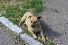 En rödhårig hund vilar på jordningen Hon har på hennes öra en röd etikett, som indikerar att hunden steriliseras Royaltyfri Fotografi