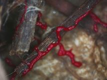 En rörande röd glazy plasmodium av en slamform på en substrate Royaltyfri Foto