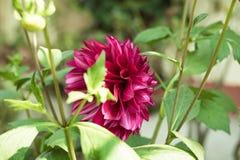 En r?d medlem f?r dahliablomma A av den dicotyledonous asteraceaen eller compositaen, ett sl?kte av buskiga, tuberous ?rtartade p royaltyfria foton