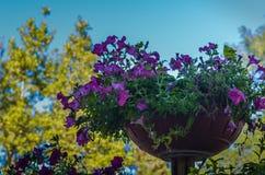 En rabatt i form av en blomkruka med lila blommor mot en blå himmel och gula höstträd Skjuta bottenöverkanten valt arkivfoton