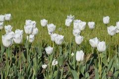 En rabatt med vita tulpan Vita tulpan, lökformiga växter blommar white Royaltyfria Foton