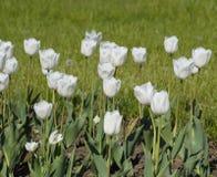 En rabatt med vita tulpan Vita tulpan, lökformiga växter blommar white Royaltyfri Foto
