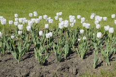 En rabatt med vita tulpan Vita tulpan, lökformiga växter blommar white Arkivbild