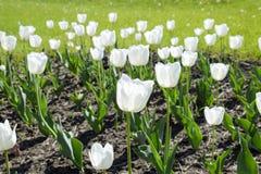 En rabatt med vita tulpan Vita tulpan, lökformiga växter blommar white Arkivfoton