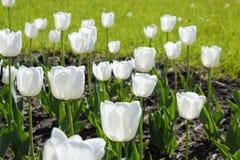 En rabatt med vita tulpan Vita tulpan, lökformiga växter blommar white Fotografering för Bildbyråer