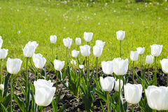 En rabatt med vita tulpan Vita tulpan, lökformiga växter blommar white Arkivbilder