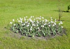 En rabatt med vita tulpan Vita tulpan, lökformiga växter blommar white Arkivfoto