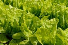 En rad av grön grönsallat Royaltyfria Foton