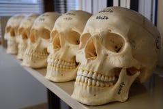 En rad av skallemodeller Arkivbilder