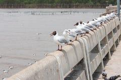 En rad av svarta hövdade seagulls varje anseende på en individ Arkivfoto