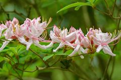 """En rad prinophyllum för rhododendron av för tidig Azalea Flowers †"""" Arkivfoton"""