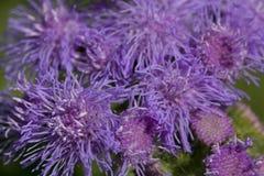 En radda Flossflowers i trädgården Royaltyfri Foto
