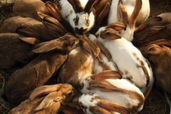 Inhemska kaniner Royaltyfri Foto